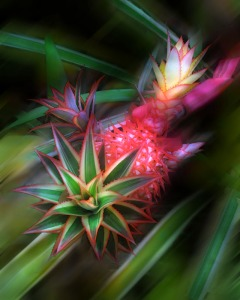 red pineapple at selby gardens