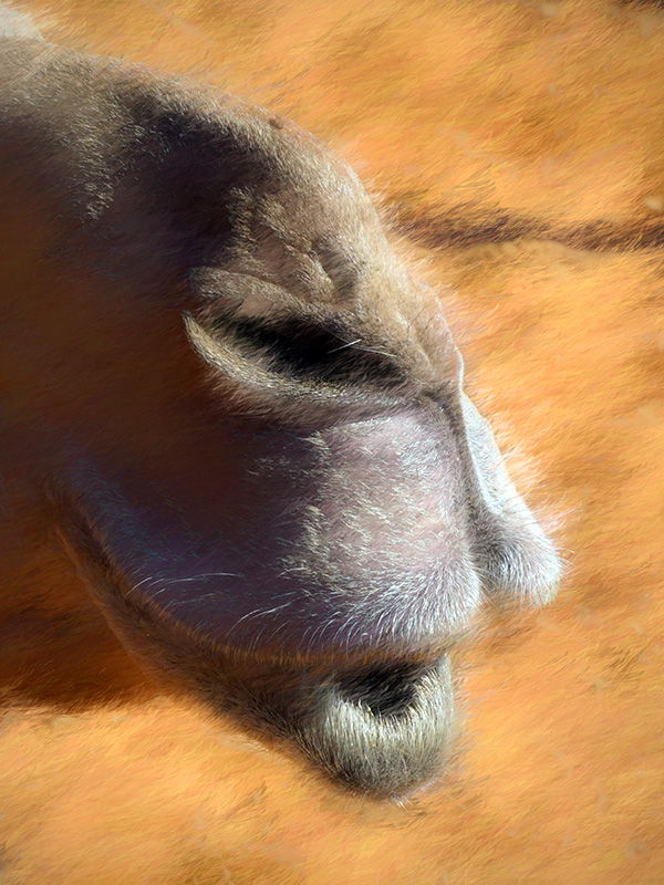 Camel's Nose